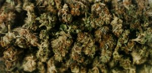 Nugs of Legal Weed