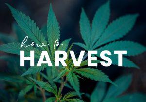 Harvest Cannabis Plant