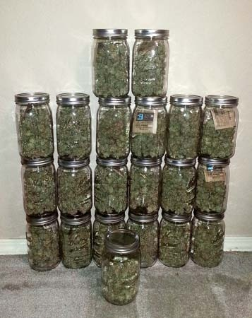harvested cannabis in glass jars