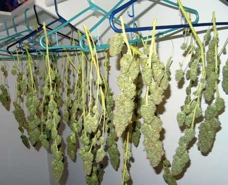 hanging cannabis ready to harvest
