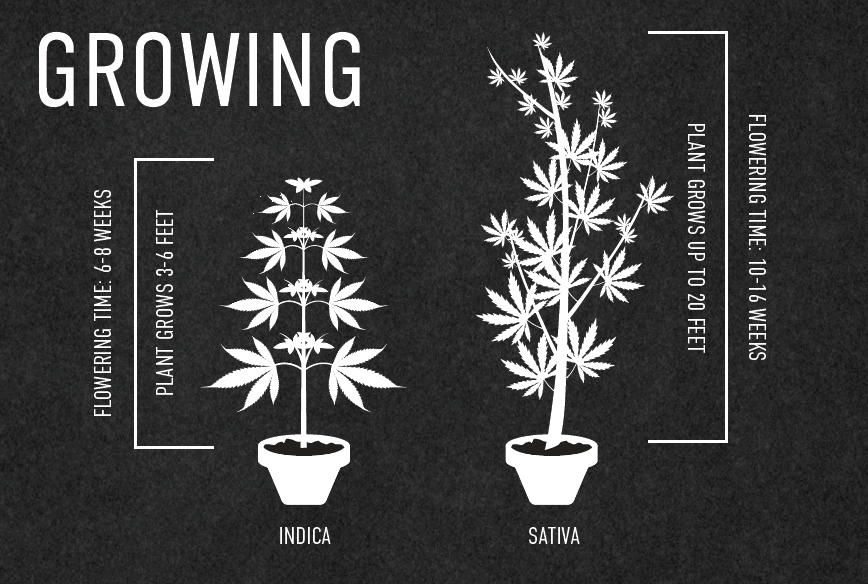 Growth and Physical Characteristics of Sativa vs Indica Cannabis