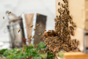 bees from The Hunny Pot urban beehive